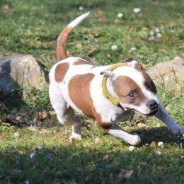 Lucky Lassie fille de Solo Beau et Baroness en action